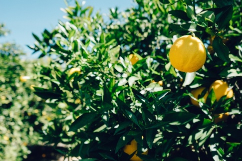 tree-lemon-fruit-large